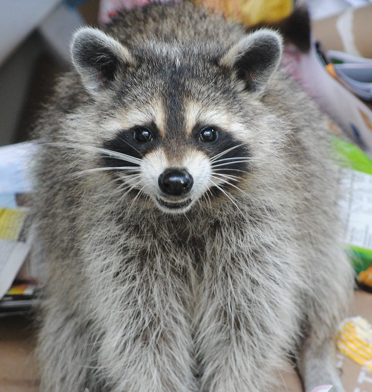 Raccoon (Енот)