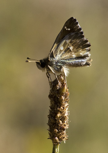 Mallow Skipper - Carcharodus alceae