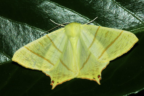 1922 Swallow-Tailed Moth 19974