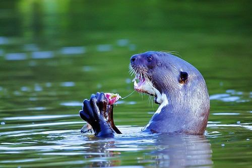 Giant River Otter Eating Fish - (Explored)