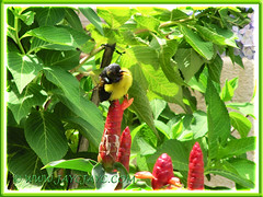 A brown-throated Sunbird perched on Costus woodsonii