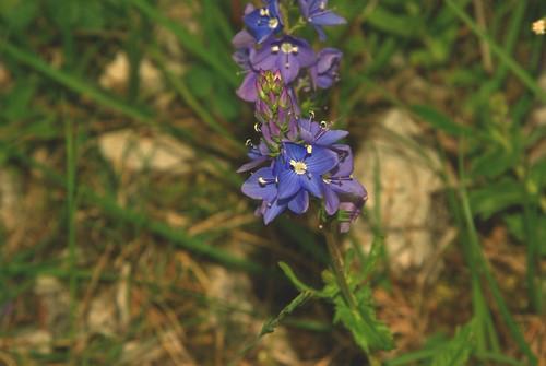 petite fleur bleue_1