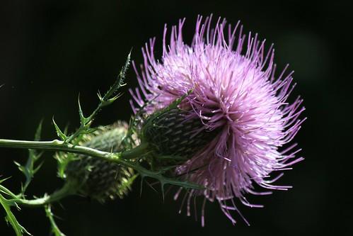 IMG_1281_Thistle_Flower