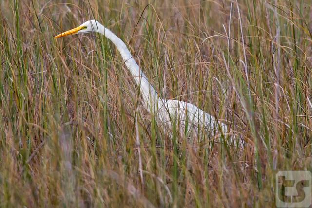Silent Saw Grass Stalker