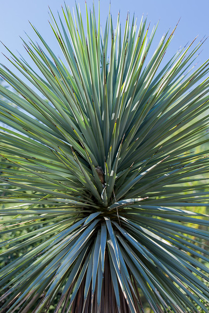 Yucca - Boyce Thompson State Arboretum
