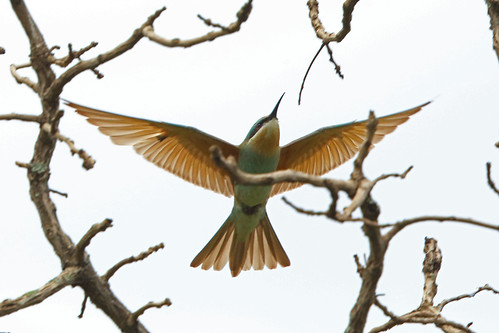 Blue-cheeked Bee-eater, Sakania, DRC