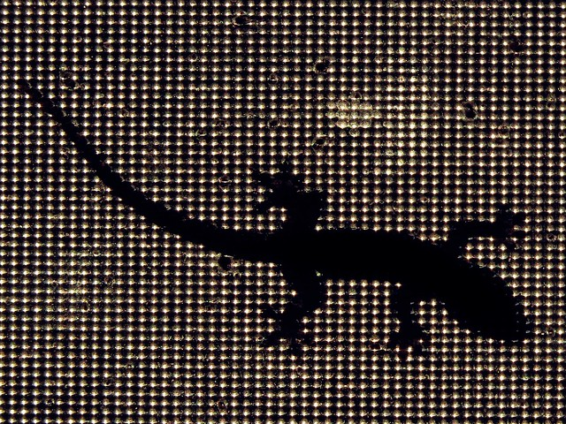 Silhouette of common house gecko.  Photographed by Bernard Eirrol Tugade