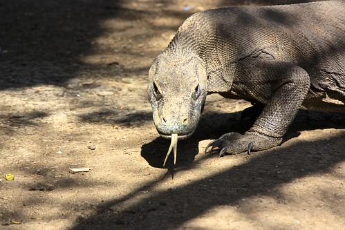 look at that Komodo dragon tongue and those claws!