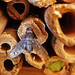 An emergent Anthracinae in my Bee Hotel,  Anthrax anthrax by bego vega