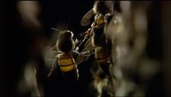 蜜蜂(圖片來源:公視《蜂狂》提供)