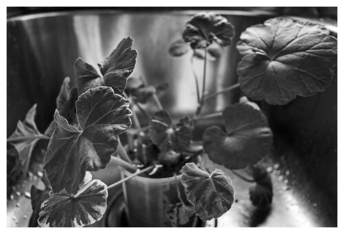 Geraniums in the sink