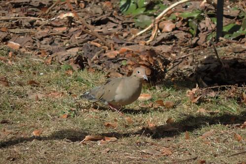 #29 Mourning Dove (Zenaida macroura)