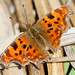 Spring has Sprung! - Comma by Steve Lane - Birds and stuff