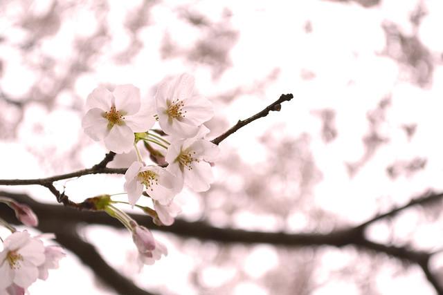 naritasan_sakura_20140402_3