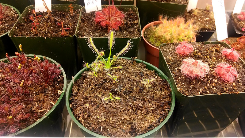 Drosera capensis 'Albino' seedlings.