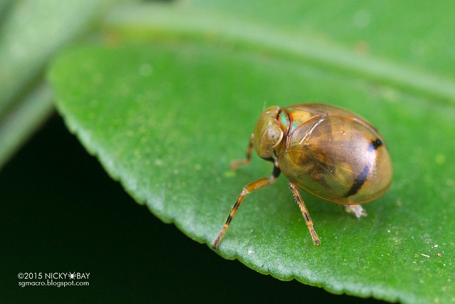 Pill-like planthopper (Hemisphaerius sp.) - DSC_5601