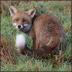 HolderRed Fox (image 2 of 2)