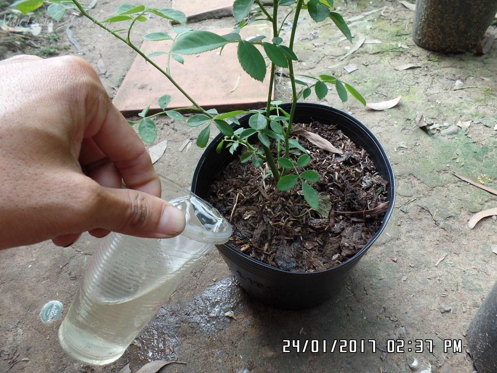 Tưới nước xung quanh thành chậu để nước từ từ ngấm vào chậu, cách tưới này không làm cho thân cây hoa hồng bị ẩm, dễ bị bệnh thối thân