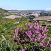 Minerve with Judas tree in foreground