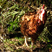 Ex-Battery Hen, Matilda by Gold Stars For Tulip