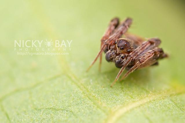 Orb WebSpider (Araneidae) - DSC_6419