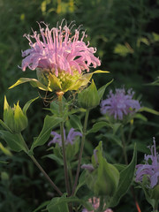 Monarda-1489.jpg by Mully410 * Images