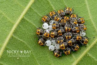 Brown Marmorated Stink Bugs? (Halyomorpha halys?) - DSC_2966