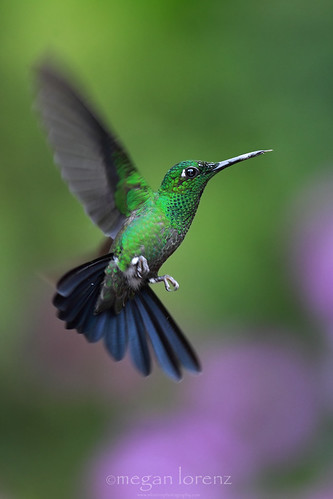 Hummingbird by Megan Lorenz