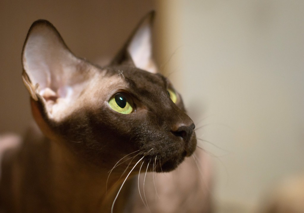 The Peterbald Beauty