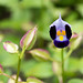 Small photo of Torenia
