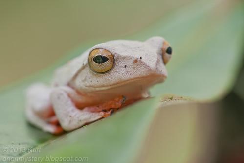 Kinabalu Tree Frog (Rhacophorus baluensis) IMG_1513 copy