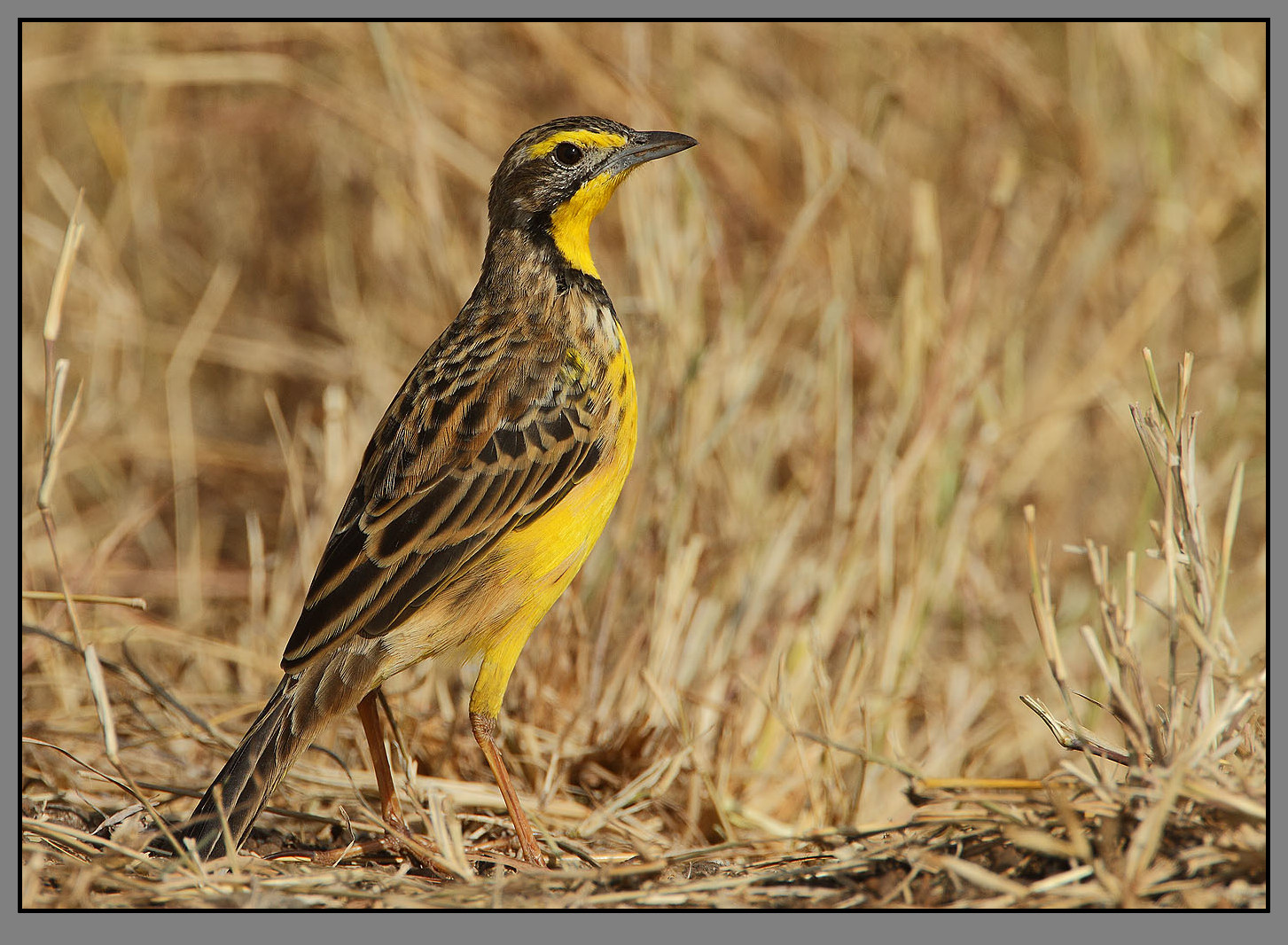 Yellow-throated Longclaw (Macronyx...
