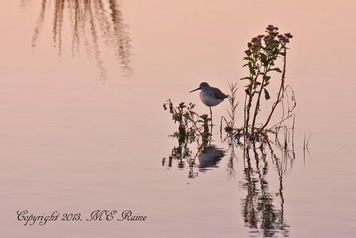 "sunset plants nature birds animals creek reflections twilight wildlife meadowlands bird"" ""golden marsh"" ""magic ""greater ""mill nj"" hour"" ""shore ""secaucus yellowleg"""