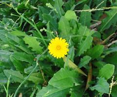 annual plant, flower, plant, sow thistles, herb, flora,