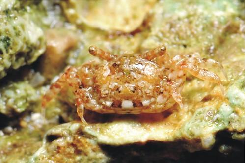 麗莎大眼蟹的背面。(攝影:陳溫柔)