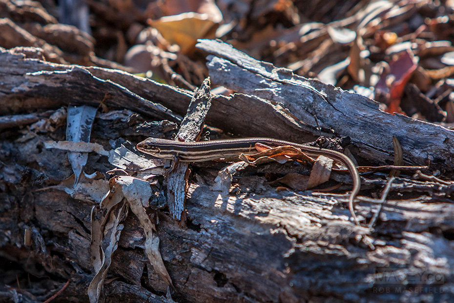 One of many legged reptiles spied over the weekend in the Gorge.