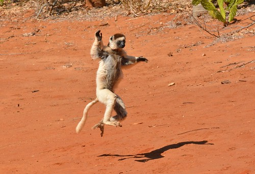 """Dancing"" Verreaux's Sifakas"" at Berenty private reserve, Southern Madagascar."