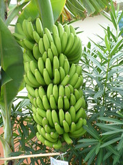 arecales(0.0), papaya(0.0), flower(0.0), crop(0.0), tree(1.0), plant(1.0), produce(1.0), fruit(1.0), food(1.0),