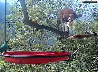 Coati on the Buenaventura webcam