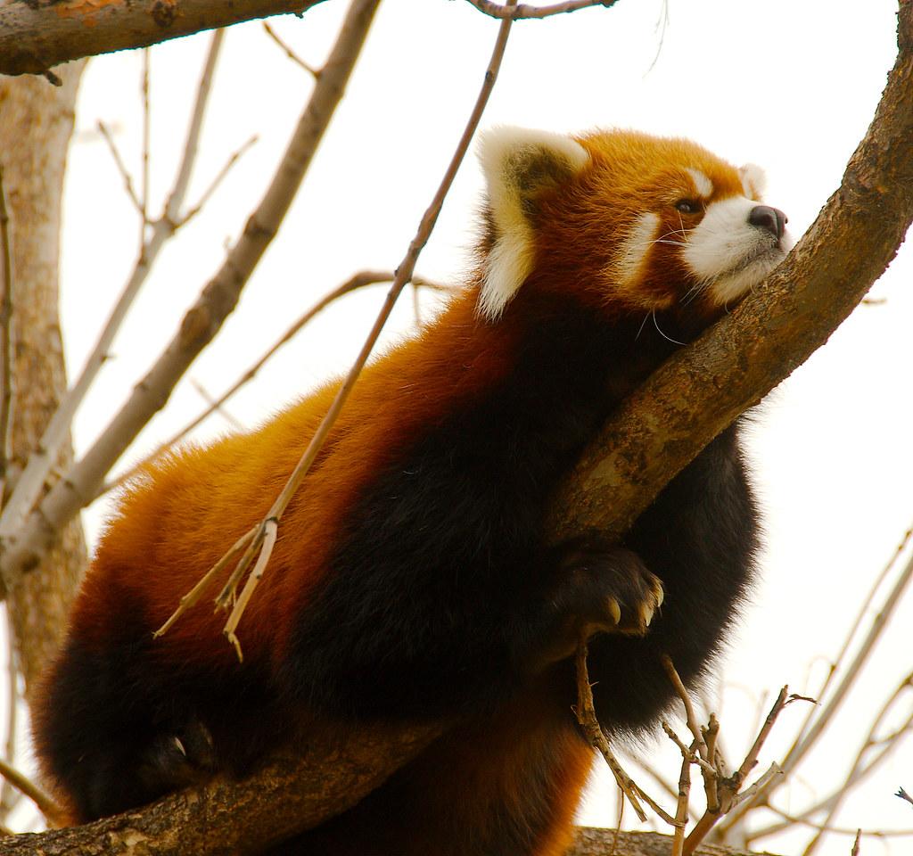 Red Panda (Ailurus fulgens)_15