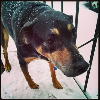 Snow Dog! #dogstagram #instadog #snow #nose #coonhoundmix #adoptdontshop #rescue #winterwonderland