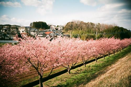 桜 / Cherry tree