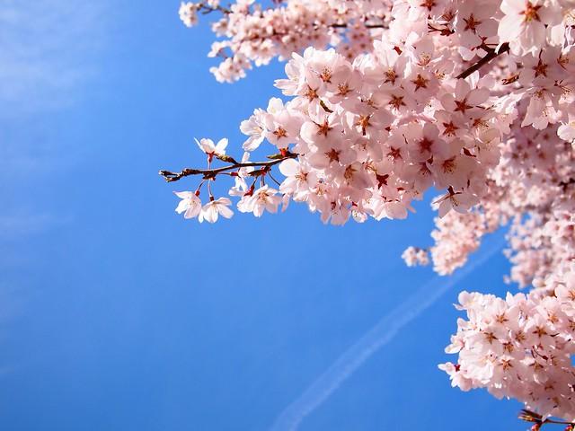 2014.4.12 桜