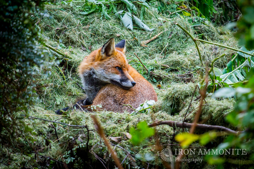 Fox on grass cuttings