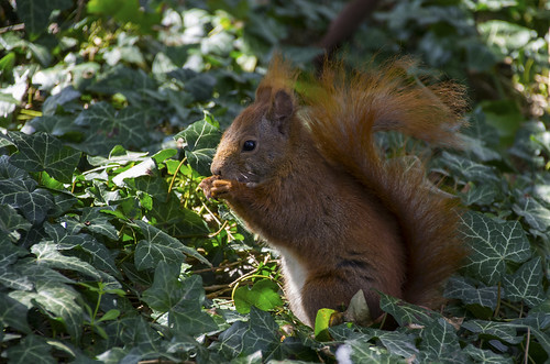 Copenhagen Red Squirrel (_K5A8204)