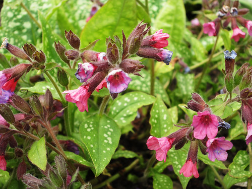 An image of lungwort, believed to be able to cure lung disease due to its leaves that look like diseased lungs.
