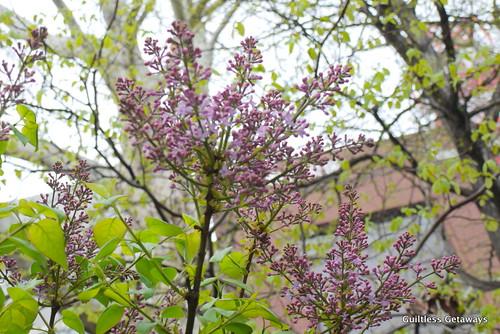 odori-park-lilac-trees.jpg