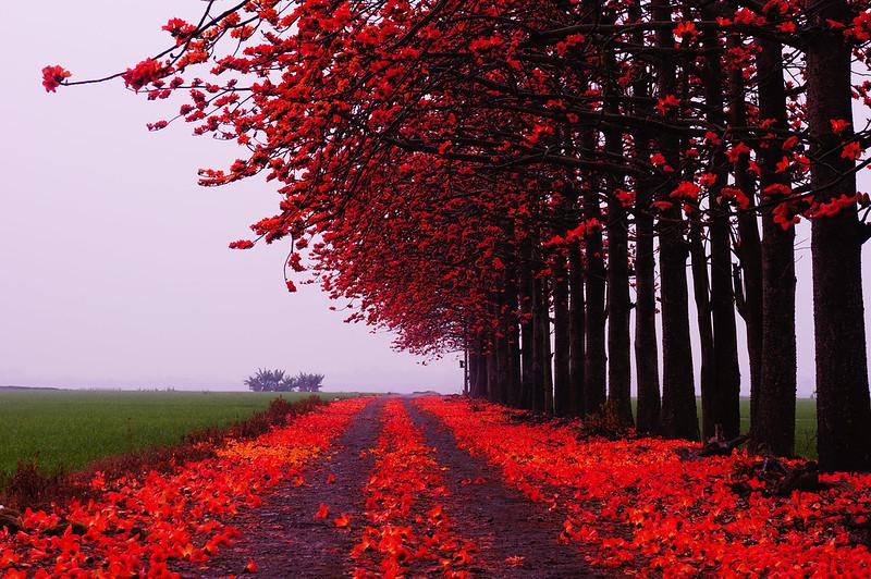 火紅木棉花道