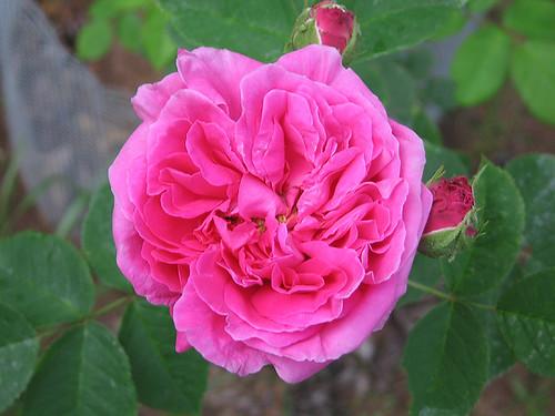 "Centifolia Rose ""Paul Ricault."" by Leenechan"