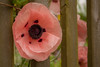 Poppy Fence by rosejones1uk